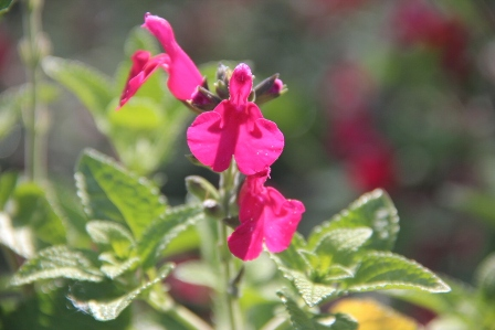 Salvia microphylla 'Wendy's Suprise'